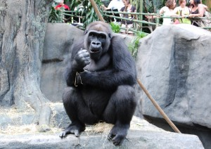 You can get up close and personal with the gorillas at Brookfield Zoo. (Photos by Laura Weisskopf Bleill)
