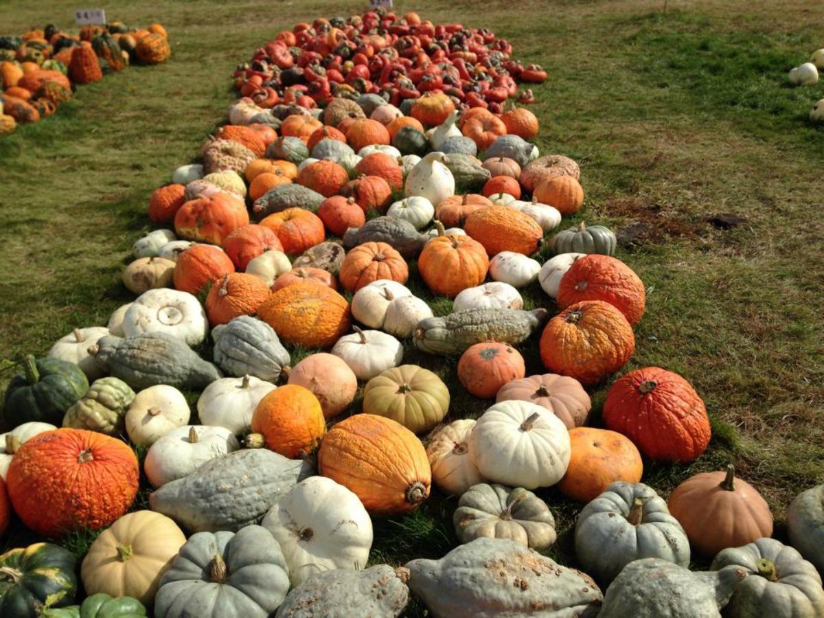 Best Kept Secret: Negangard Pumpkin Patch