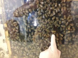 pollinators, bees, champaign, urbana, pollinatarium
