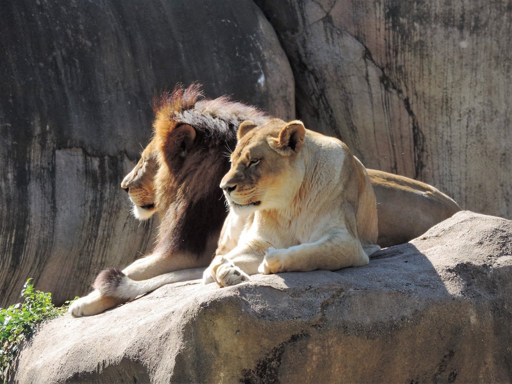 Lion pair at Peoria Zoo