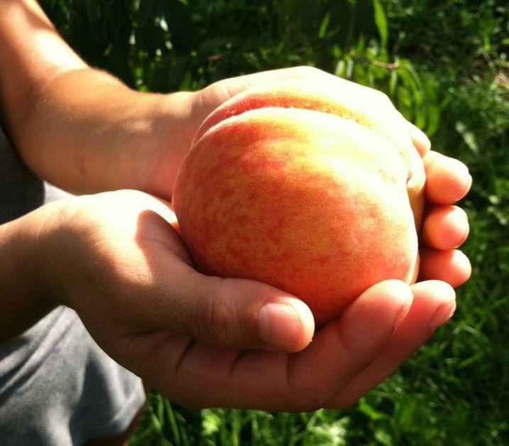 Peaches at Prairie Fruits Farm