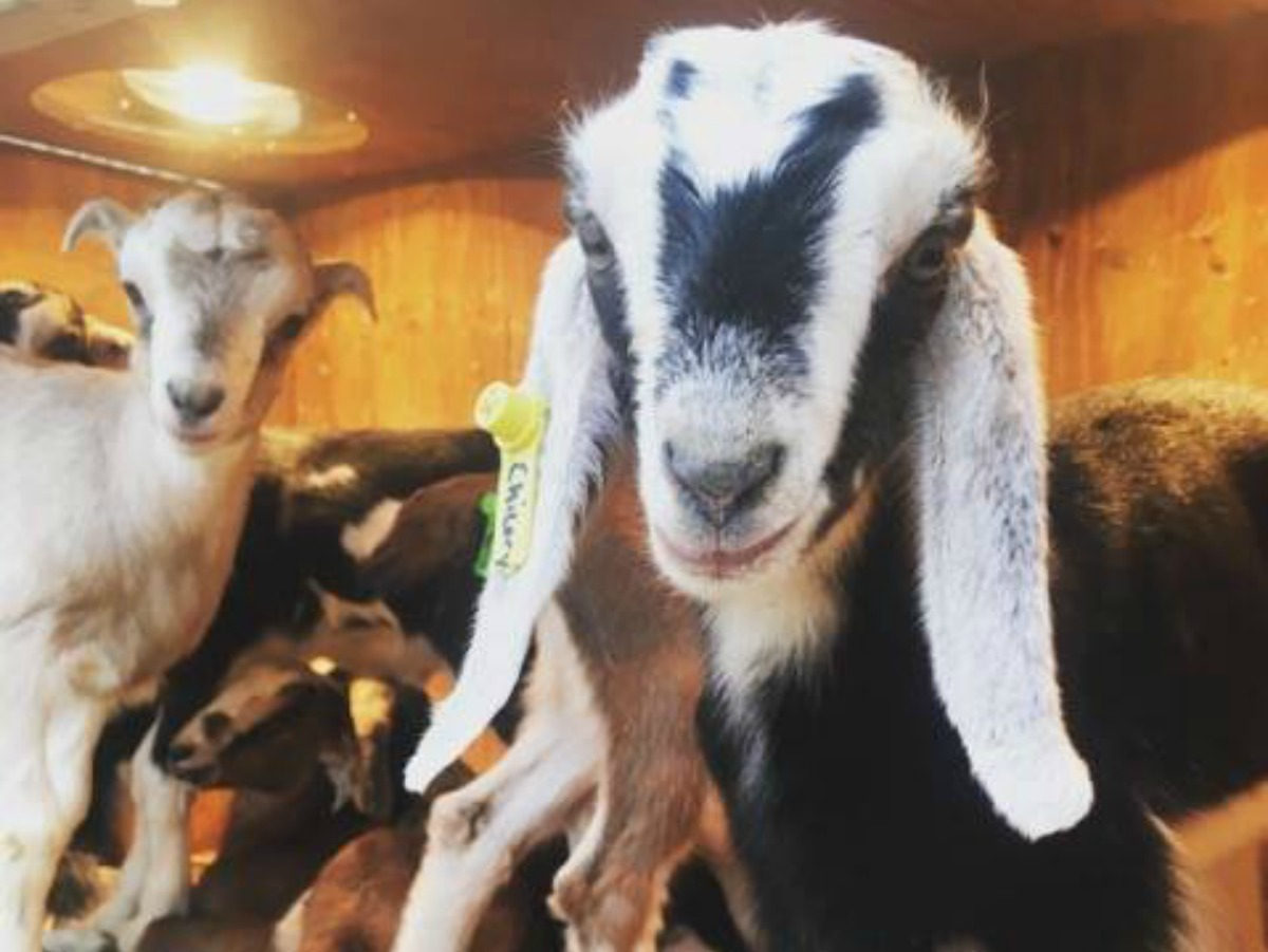 Get your Baby Goat time at Prairie Fruits Farm Spring Open House Breakfast & Babies on Chambanamoms.com