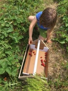"""Farmer"" Neena picks strawberries at Jefferies Orchard in Springfield. chambanamoms.com photo"
