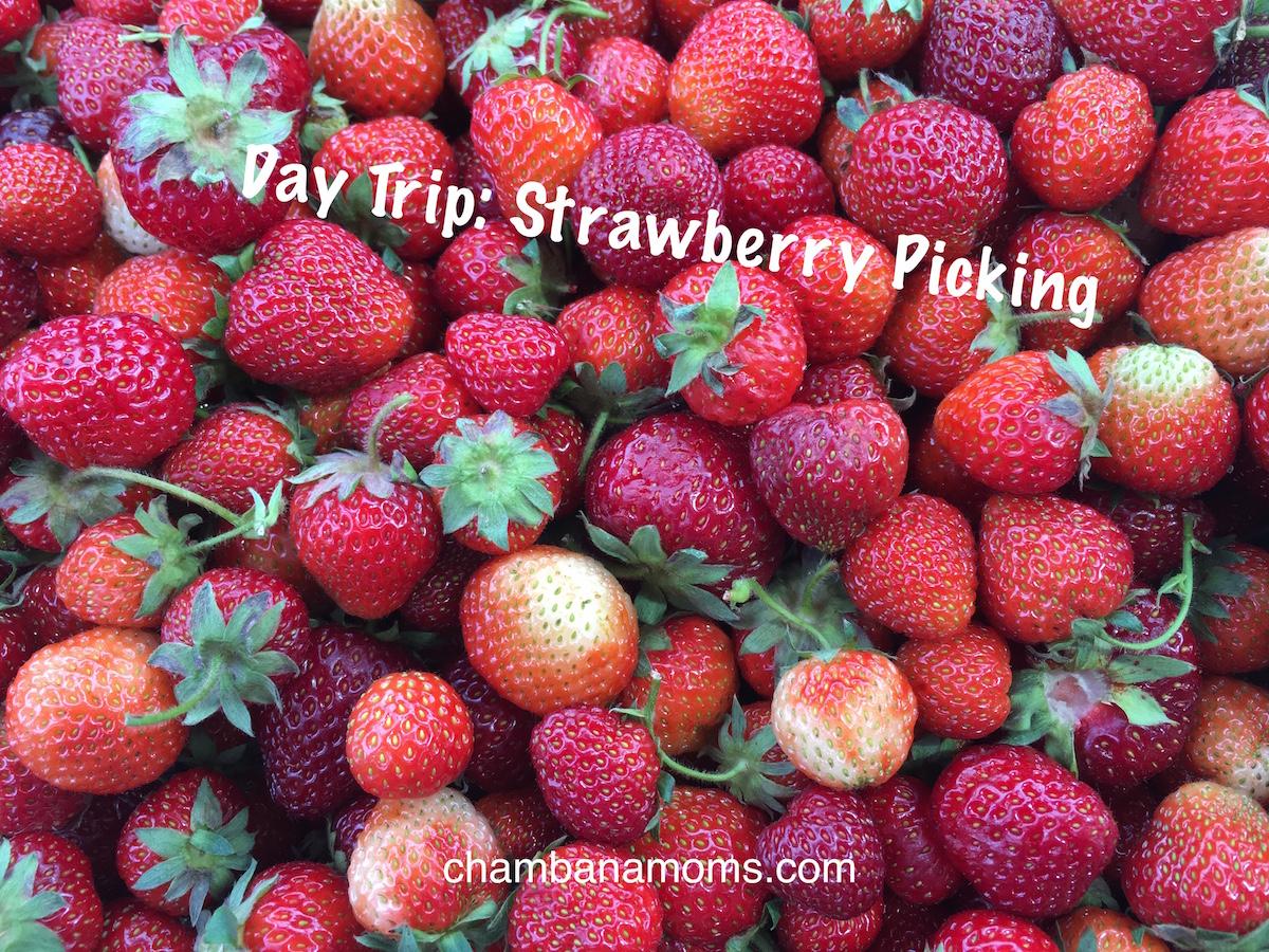 daytripstrawberrypickingcentralillinois