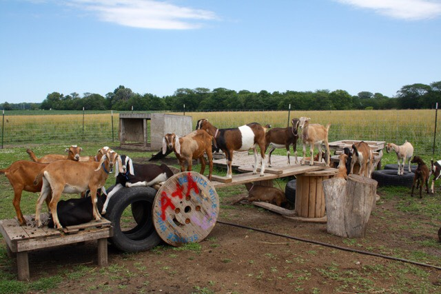 The goats have their own playground at Prairie Fruits Farm in Champaign on chambanamoms.com
