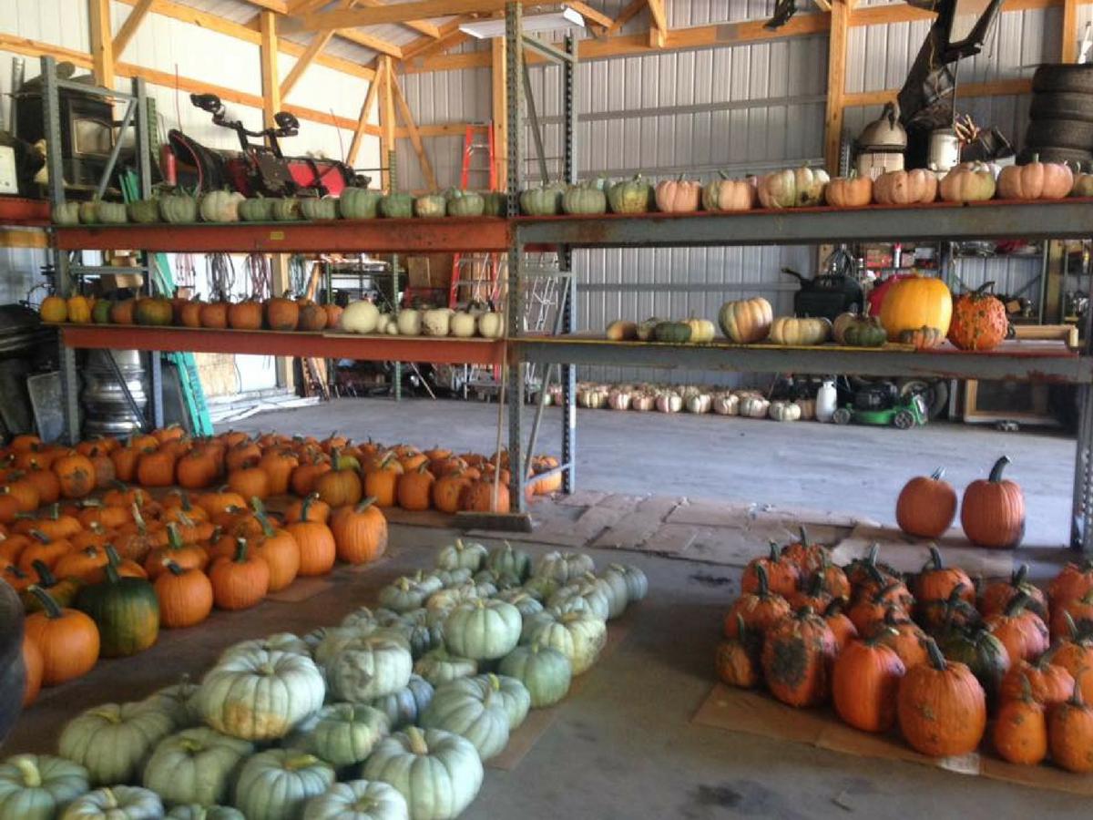 Crowley pumpkins