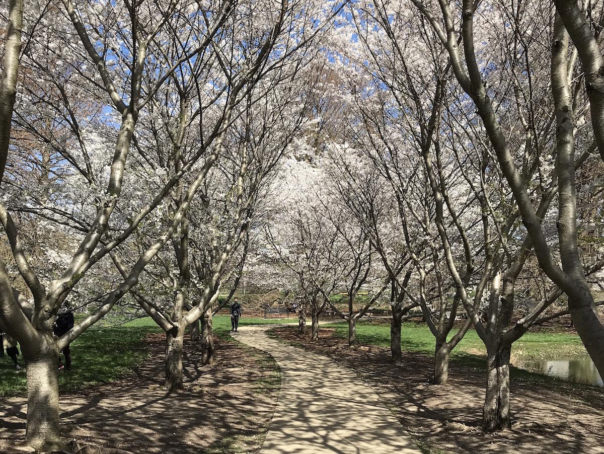 Cherry Tree Allee at the University of Illinois Arboretum, chambanamoms photo
