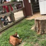 Baby Calf Prairie Farm Champaign