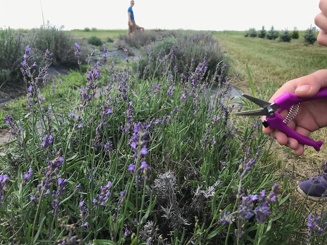 Lavender picking in LeRoy