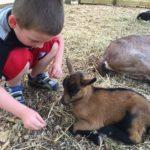 Meet the baby goats at Prairie Farm in Champaign, IL