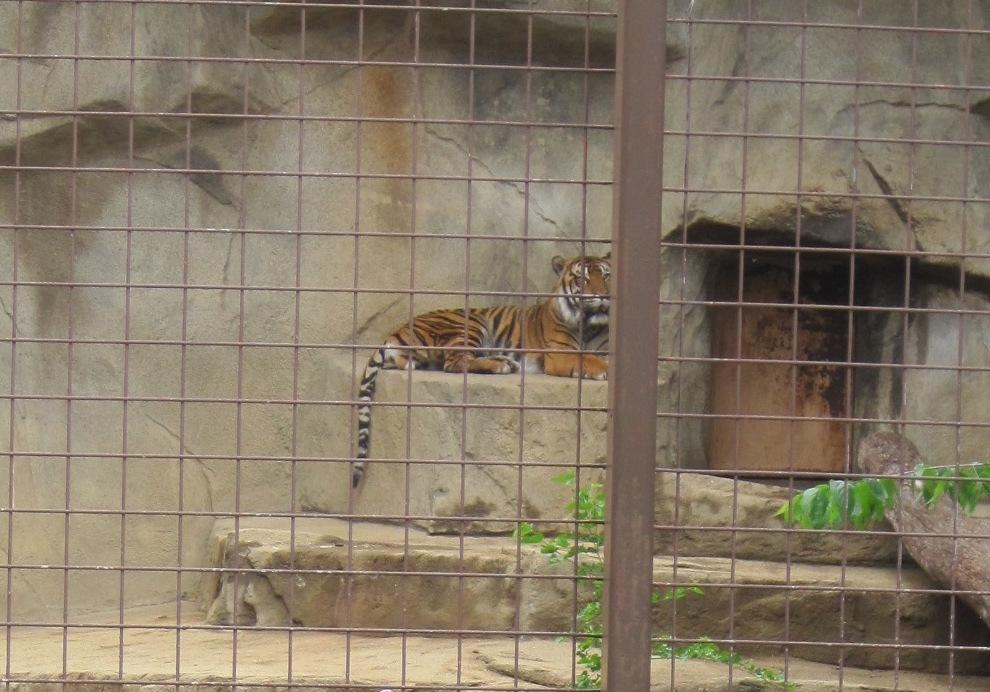 Sumatran tiger resident at Miller Park Zoo