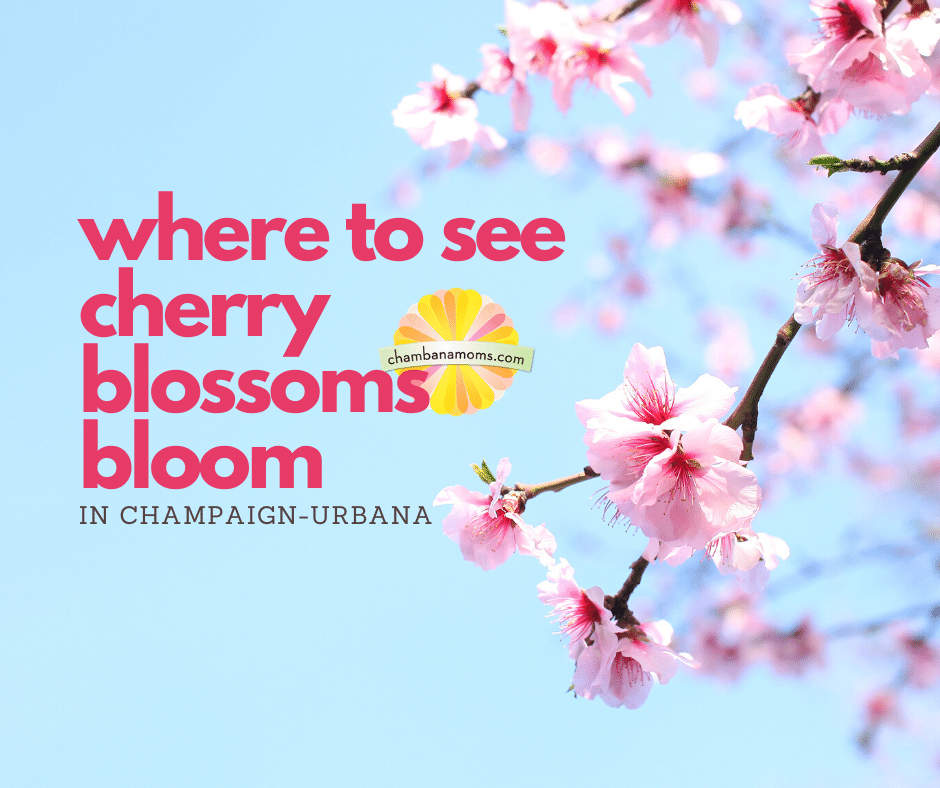 How to See Cherry Blossoms Bloom in Champaign-Urbana (this year, anyway)