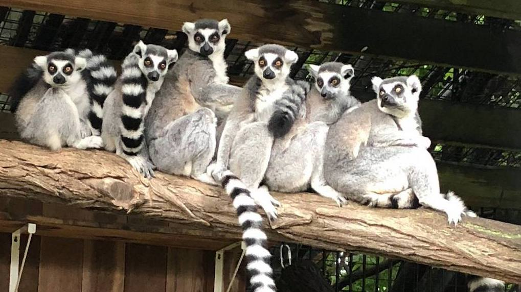 ring-tailed lemurs at Scovill Zoo Decatur