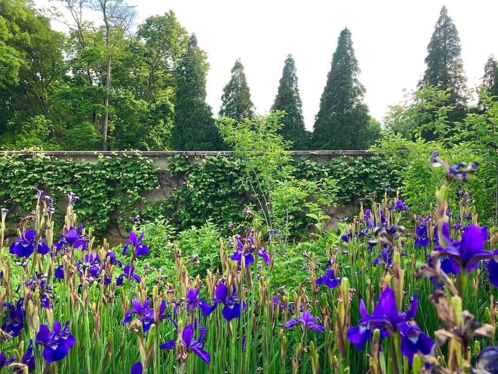 Irises in bloom at Allerton
