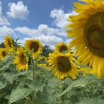 Urbana Sunflower field