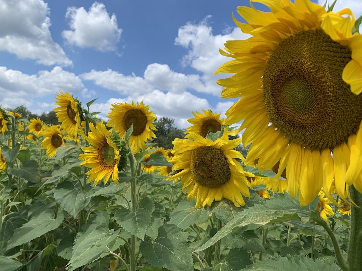 Urbana Sunflower field