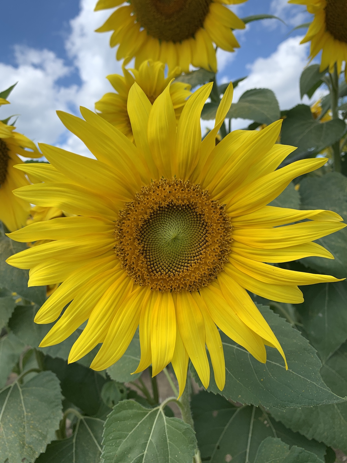 more sunflowers from urbana