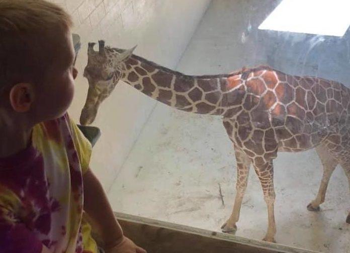 Giraffes at Peoria Zoo