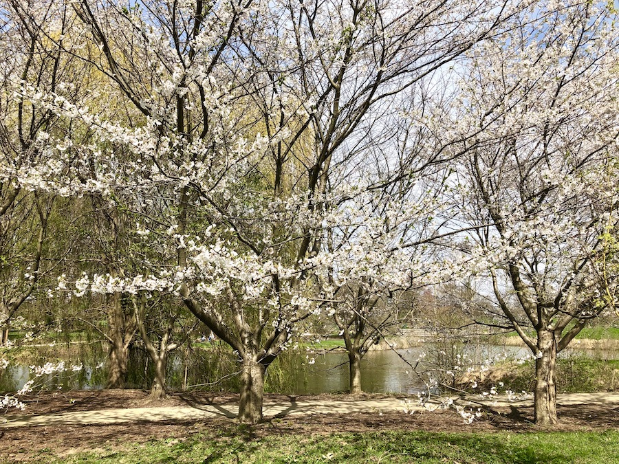Cherry blossoms next to pond at Japan House