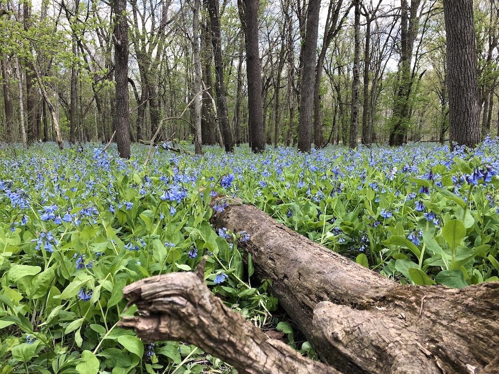 Bluebells at Hidden Acres