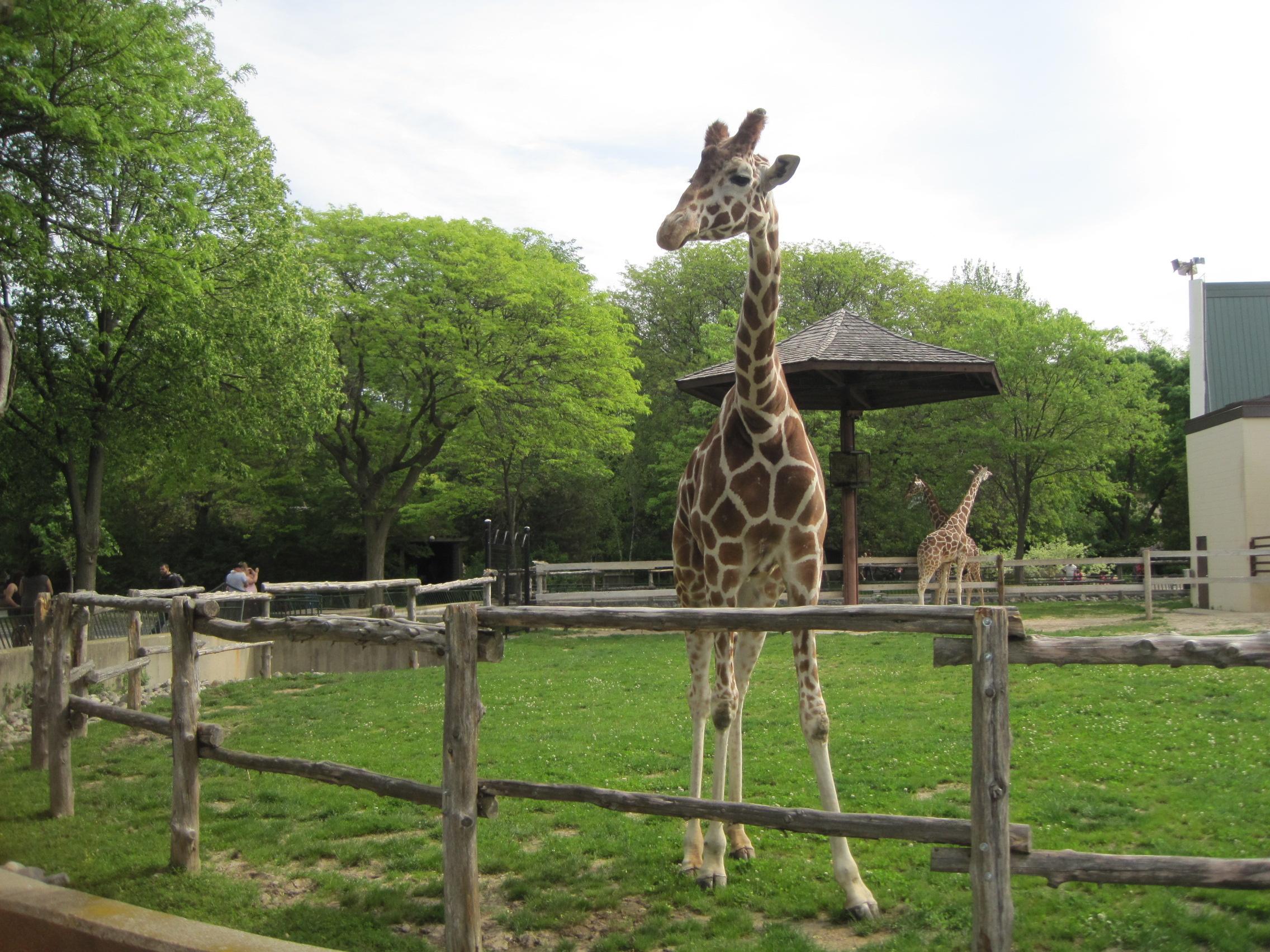 Giraffes at Henry Vilas Zoo