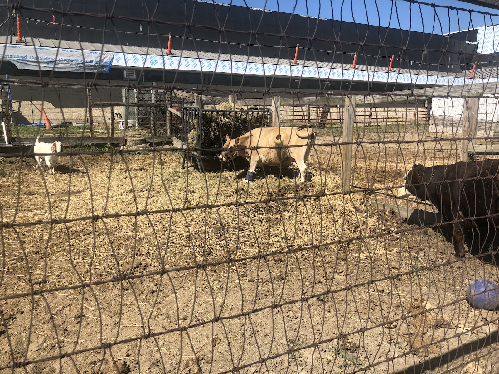 Fistulated Cow at South Farms