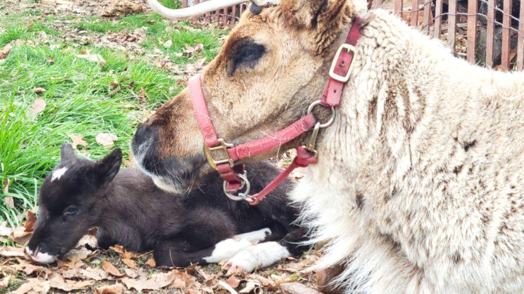 Hardy's Reindeer Ranch baby reindeer Jewel.