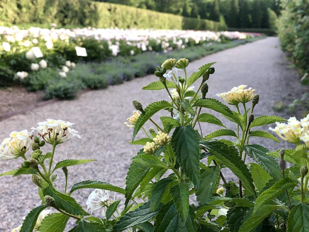 White peonies at Allerton