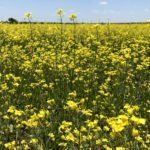 Canola plants in bloom at Clearview Farm