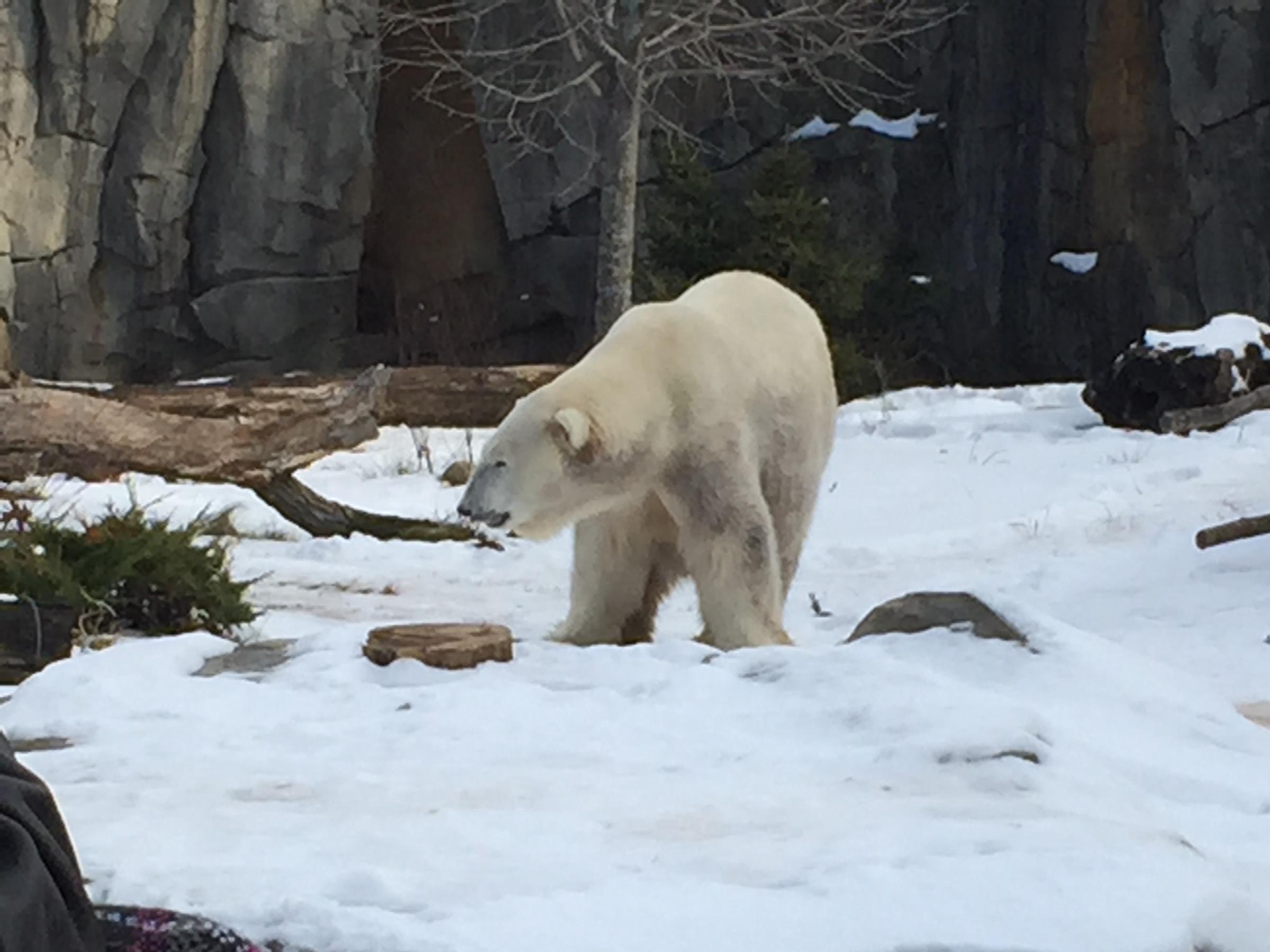 Polar bear at Brookfield Zoo