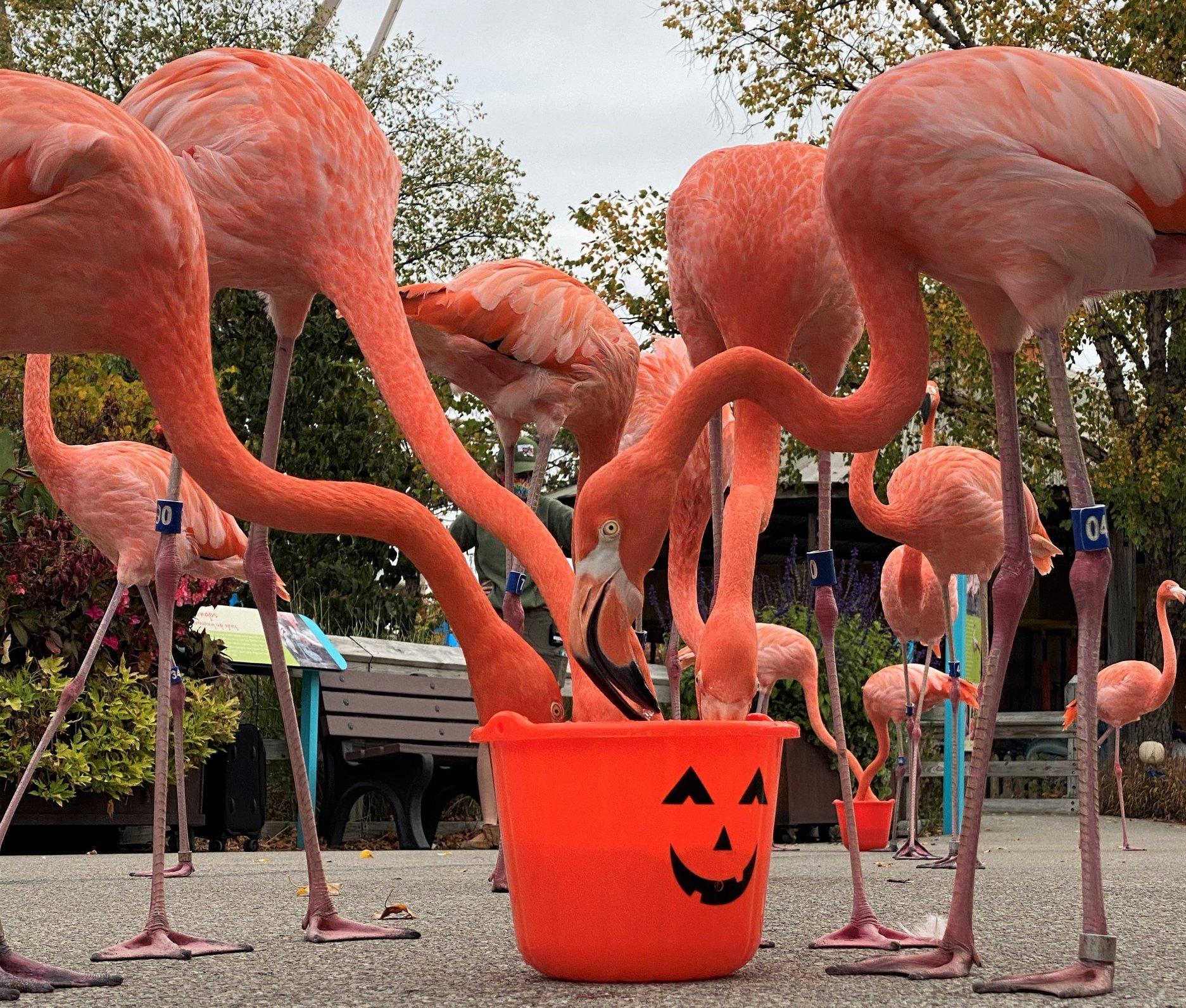 Indianapolis Zoo flamingoes celebrating Halloween