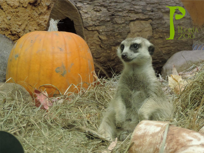 Peoria Zoo Meerkats with a Pumpkin